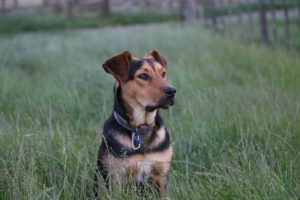 black and tan short coat medium sized dog on green grass field during daytime