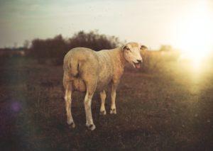 brown lamb standing on grass